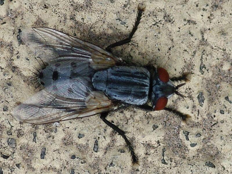 общих принципов, фото как выглядит вольфрамовая муха последние