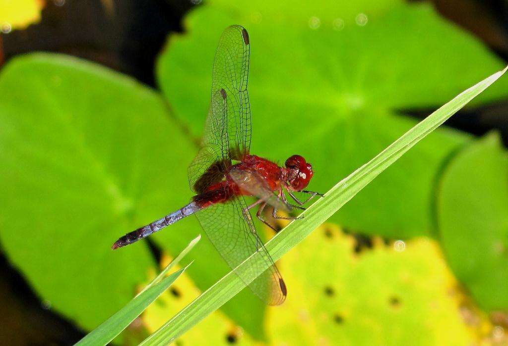 Diptera info - Discussion Forum: Gorgeous Brazilian Dragonfly