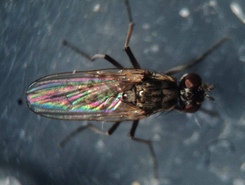 Diptera info - Discussion Forum: Identification FLY