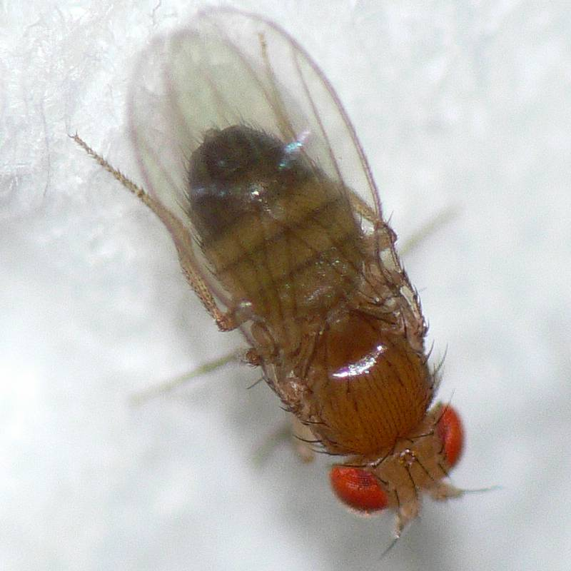 the experiment with drosophila melanogaster genetics the house fly Fruit fly (drosophila) science fair projects and experiments: topics, ideas, resources, and sample projects.