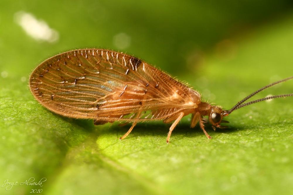 Diptera Info Discussion Forum Neuroptera Sisyridae