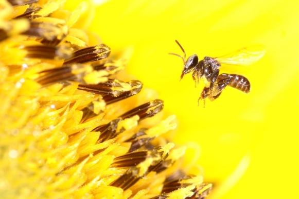 Image result for stingless bee