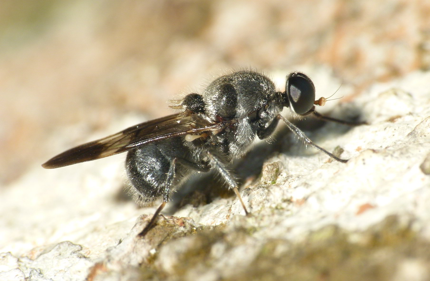 Diptera info - Discussion Forum: Fly on fallen log - Western