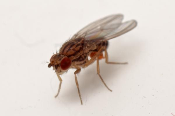drosophila-busckii-kw-2010.jpg