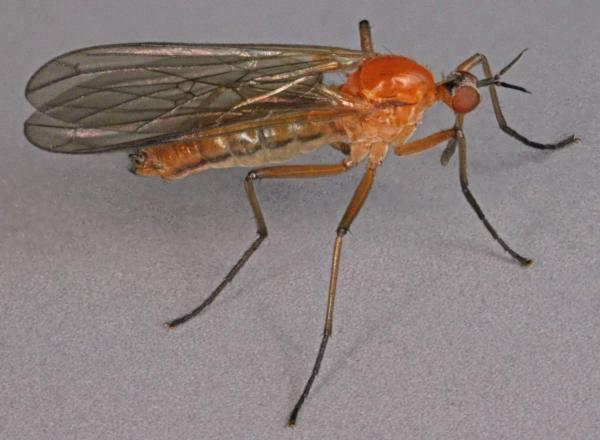 empis_concolor.jpg