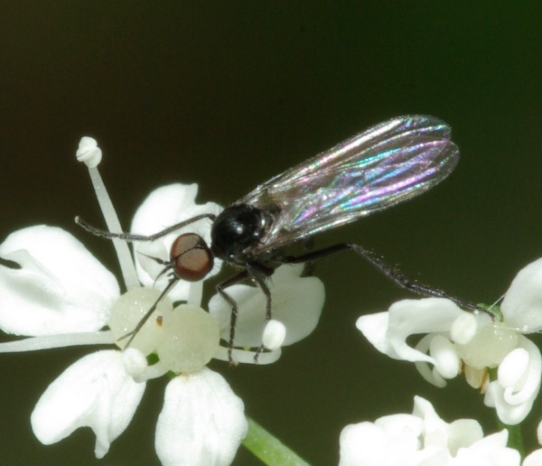 empis_empis_levis_male_1.jpg