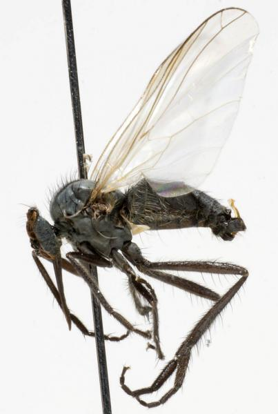 empis_nigripes_jf09-0740.jpg