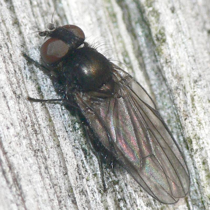 diptera.info/images/photoalbum/album_24/earomyia_lonchaeoides_4.jpg