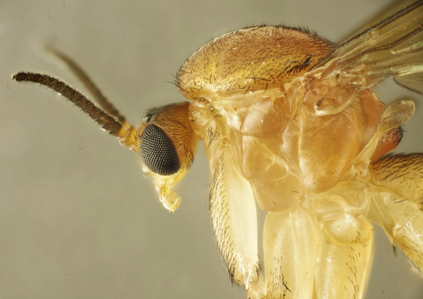 orfelia_sp_female_3.jpg